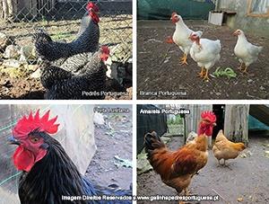 galinhas de raça portuguesa